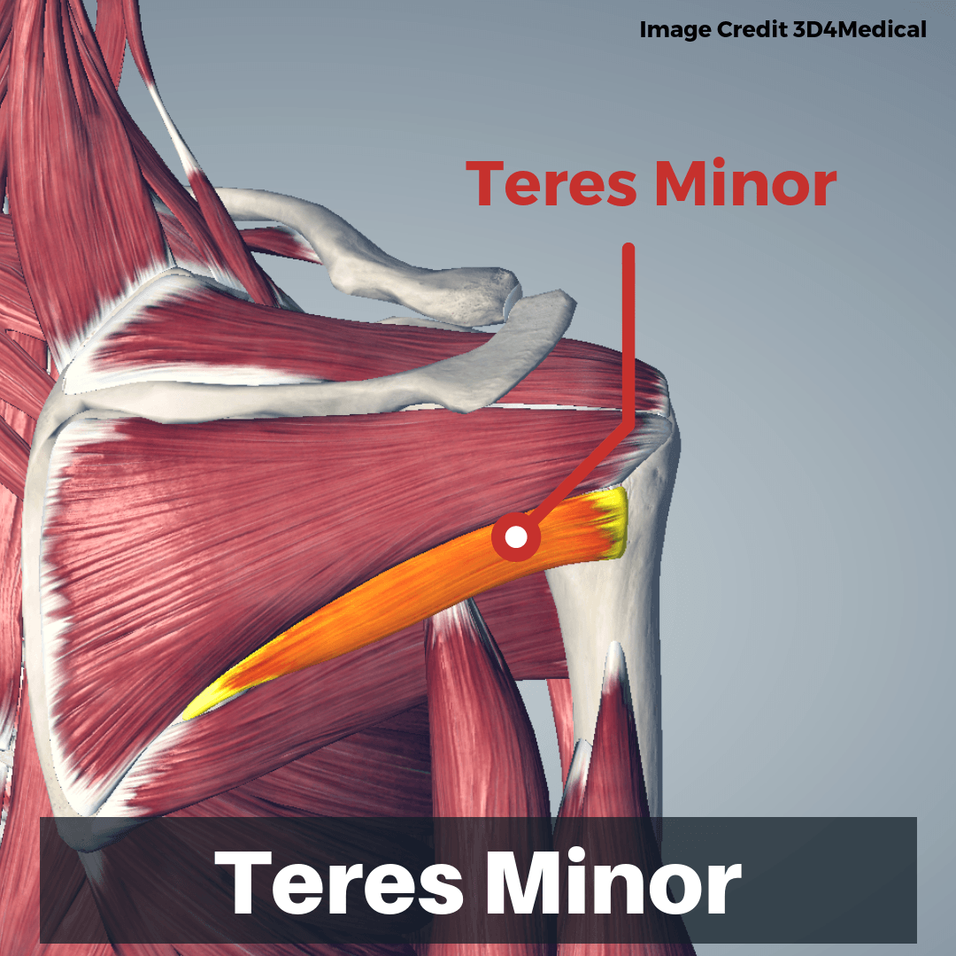 Teres Minor Muscle